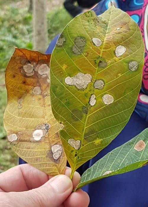 Bệnh Pestalotiopsis trên cây cao su
